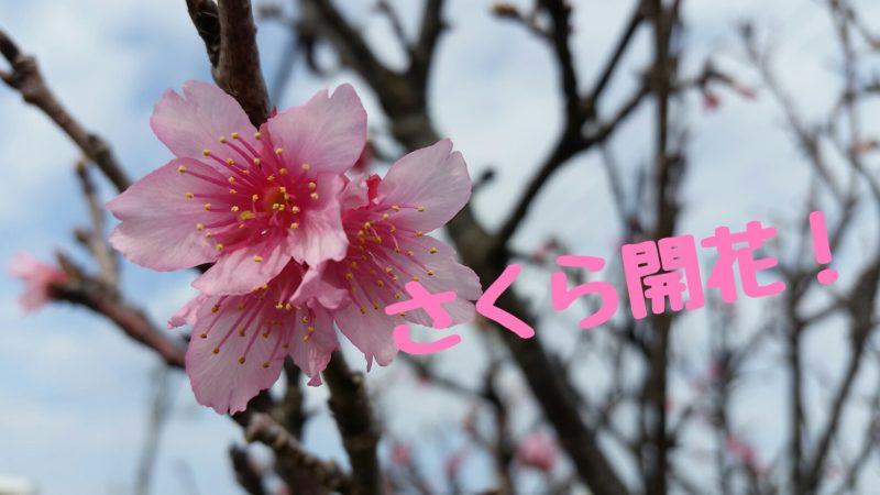 石垣島で桜(さくら)開花